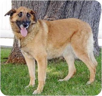 Belgian Malinois/German Shepherd Dog Mix Dog for adoption in Marina del Rey, California - Nikon