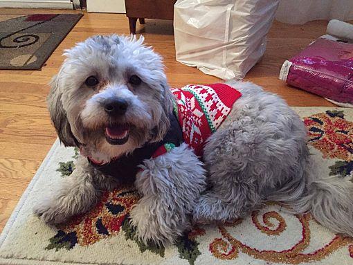 Cranston, RI - Bichon Frise  Meet Buddy a Pet for Adoption