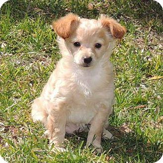La Habra Heights Ca Pomeranian Meet Blondie A Dog For