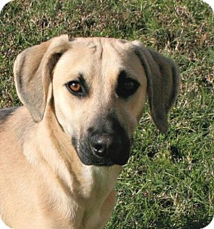 Black Mouth Cur Mix Dog for adoption in Lufkin, Texas - Rover