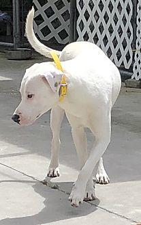 Adopt A Pet :: Opie  - Edisto Island, SC
