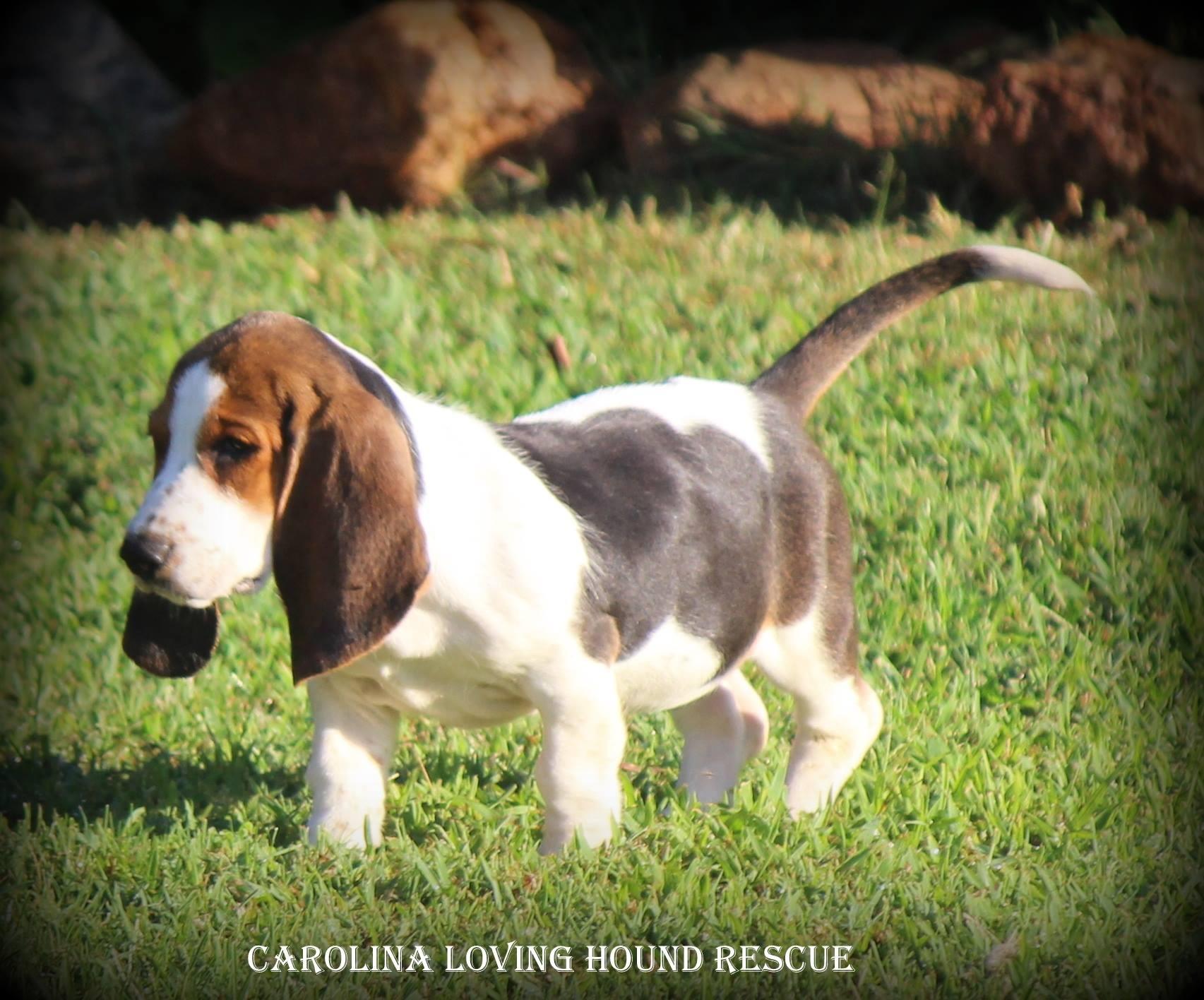 Greenville Sc Basset Hound Meet Duchess A Pet For Adoption