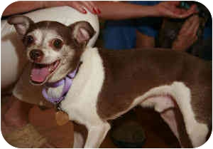 Chihuahua/Jack Russell Terrier Mix Dog for adoption in Warren, New Jersey - Roy Boy