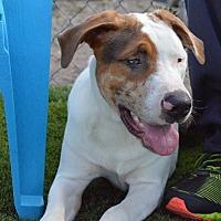 Catahoula Leopard Dog Dog for adoption in Arcadia, Florida - Chip