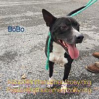 Adopt A Pet :: BoBo - Houston, TX