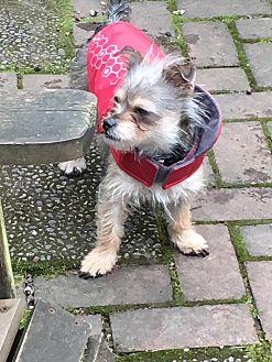 Adopt A Pet :: Allie  - Renton, WA