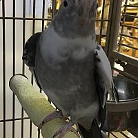 Adopt A Pet :: Chi Chi - Punta Gorda, FL