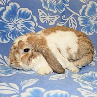 Adopt A Pet :: Charlotte - Chesterfield, MO