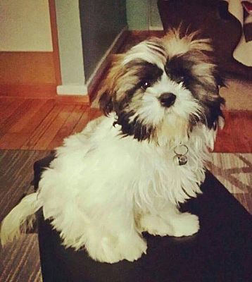 Fort Atkinson Wi Shih Tzu Meet Sunny A Pet For Adoption