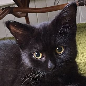 Domestic Shorthair Kitten for adoption in Toronto, Ontario - Jemma