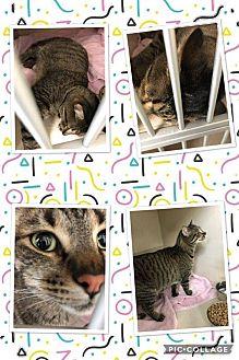 Domestic Shorthair Cat for adoption in Cheboygan, Michigan - Tiger