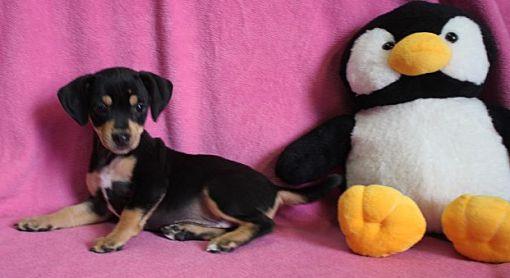 Allentown Pa Rat Terrier Meet J D A Pet For Adoption