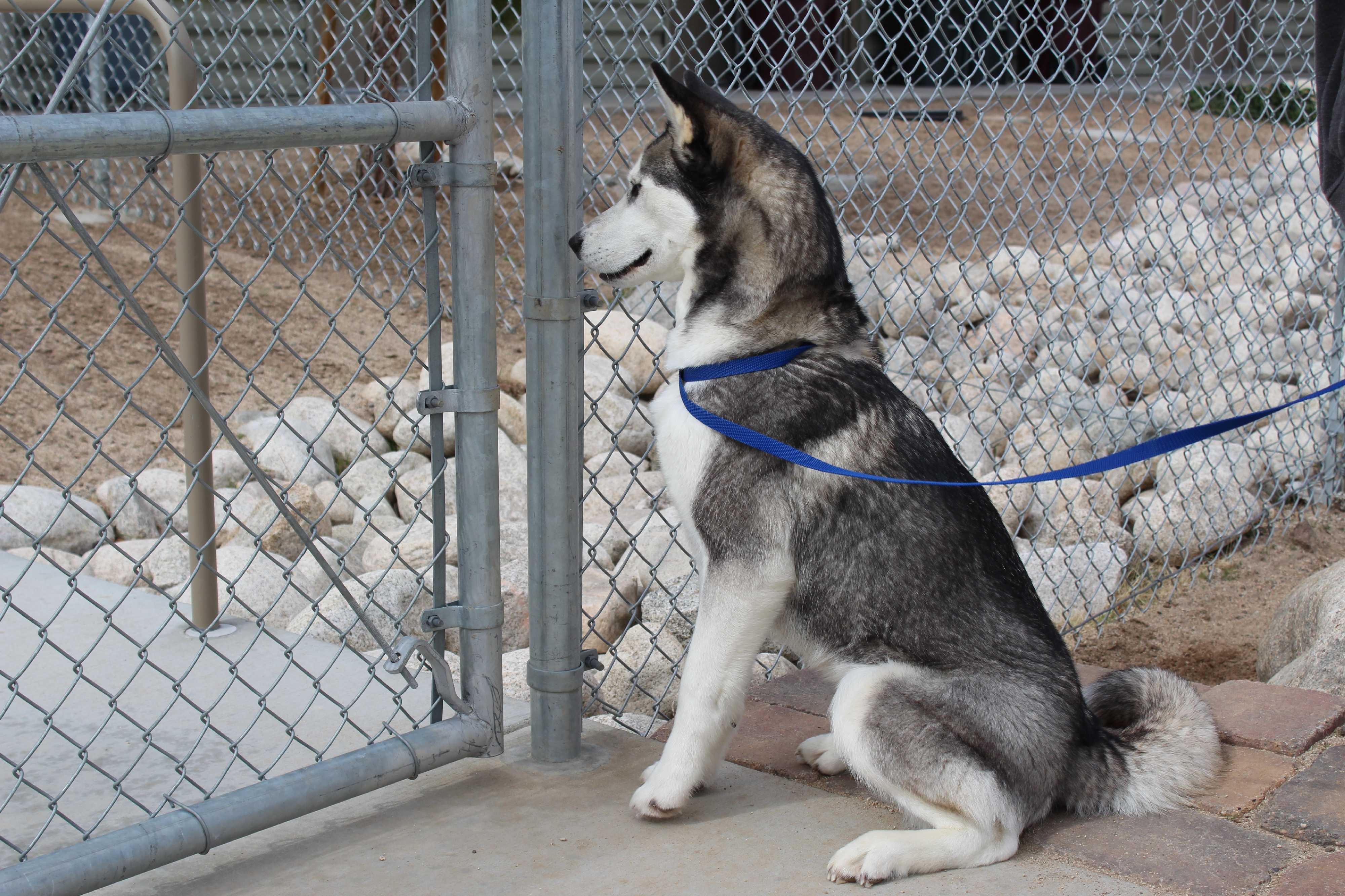 Husky puppies for sale yucca valley - Yucca Valley Ca Husky Meet Priscillia Majesty May A Dog For Adoption