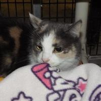 Domestic Shorthair/Domestic Shorthair Mix Cat for adoption in Winona, Minnesota - Belle