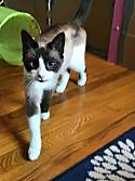 Adopt a Pet :: Toffee - Pittsburgh, PA -  Snowshoe