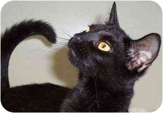 Domestic Shorthair Cat for adoption in Warren, Pennsylvania - Allie