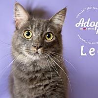 Domestic Mediumhair Kitten for adoption in Friendswood, Texas - Leo