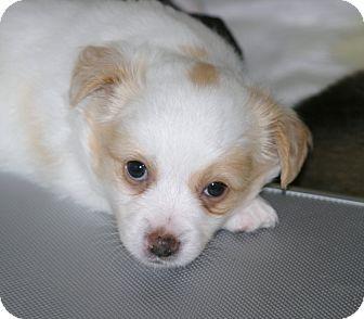 Pomeranian Dogs For Adoption