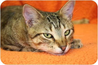Domestic Shorthair Cat for adoption in Naples, Florida - Magic