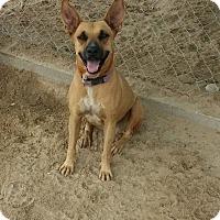 Shepherd (Unknown Type)/Boxer Mix Dog for adoption in San Diego, California - Oriana
