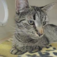 Adopt A Pet :: Claire - Conway, NH