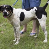 Hound (Unknown Type)/Rottweiler Mix Dog for adoption in Hopkins, South Carolina - Freddie