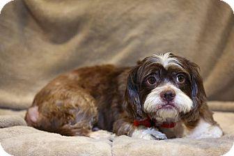 Troy Mi Shih Tzu Meet Guinness A Pet For Adoption
