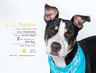 Adopt A Pet :: Maddox  - Houston, TX