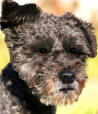 Schnoodle Dogs For Adoption