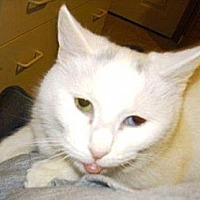 Domestic Shorthair Cat for adoption in Woodbury, New Jersey - Noel H