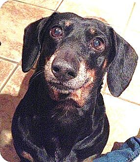 Dachshund Dog for adoption in Forest Ranch, California - LILLIE