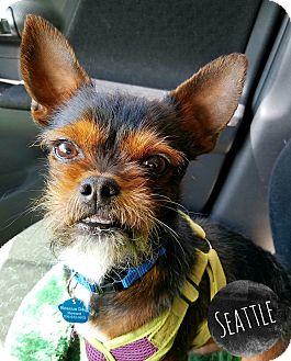 Seattle Wa Brussels Griffon Meet Bogy A Pet For Adoption