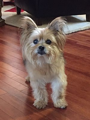Bloomington Il Yorkie Yorkshire Terrier Meet Cupcake A Pet For