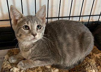 Adopt A Pet :: Masha  - Dumfries, VA