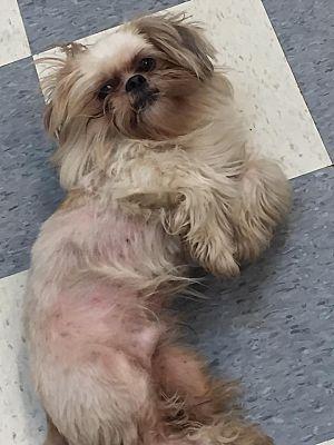 Hazard Ky Shih Tzu Meet Cooper A Pet For Adoption