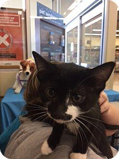 Domestic Shorthair Kitten for adoption in Las Vegas, Nevada - CHARLIE CHAPLIN