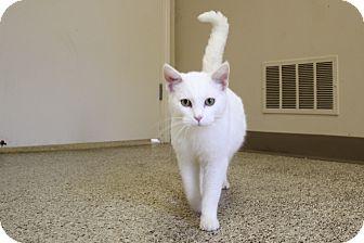 Domestic Shorthair Cat for adoption in St Clair Shores, Michigan - Lumos