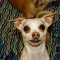 Adopt A Pet :: Pucchini (Pooch) - Tacoma, WA