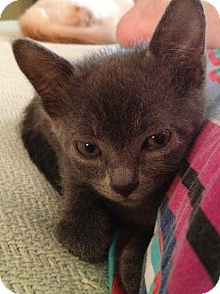Domestic Shorthair Kitten for adoption in Union, Kentucky - Avacyn