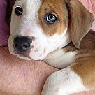 Adopt A Pet :: Marcie