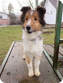 Nampa id sheltie shetland sheepdog meet squirt a dog for adoption adopted solutioingenieria Image collections