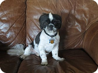 Nashville Tn Shih Tzu Meet Sammy A Pet For Adoption