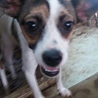 Adopt A Pet :: Dan - Oakton, VA