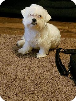 Maltese/Poodle (Miniature) Mix Dog for adoption in Florence, Kentucky - Lars