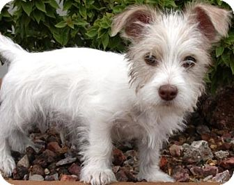 wire haired terrier rescue