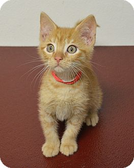 Domestic Shorthair Kitten for adoption in Springfield, Illinois - Cameron