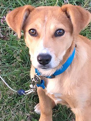 Fayetteville Ar Golden Retriever Meet Molly A Pet For Adoption