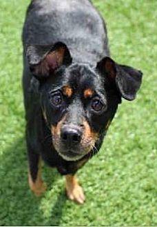 Adopt A Pet :: SMALL DOG, BIG HEART  - Ft Myers Beach, FL