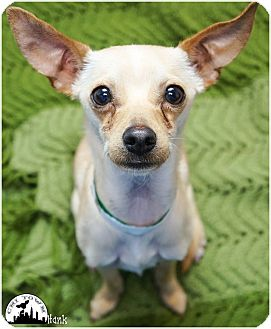 Chihuahua/Terrier (Unknown Type, Small) Mix Dog for adoption in Phoenix, Arizona - Hank