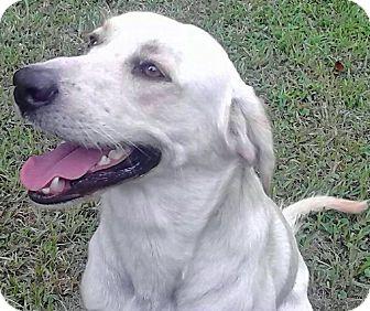 Labrador Retriever Dog for adoption in Savannah, Georgia - Rocky